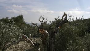 La perversión de cortar olivos