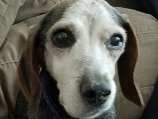 Woman Brings Home Sick Senior Shelter Dog for Hospice and Is Surprised By Miracle Recovery