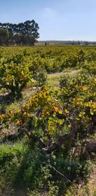 Duwweltjie Vineyard 2.jpg