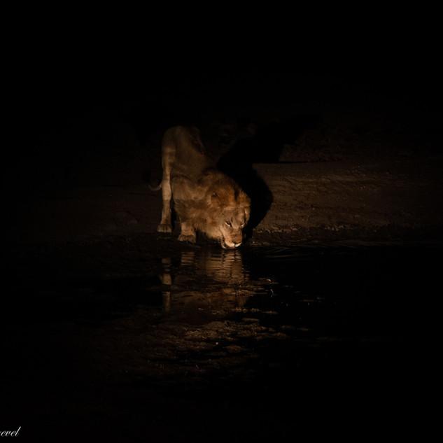 Lion nighttime.jpg