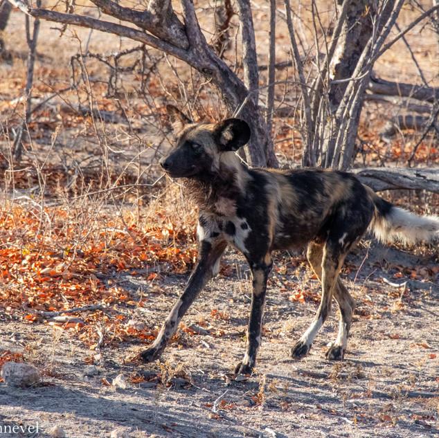 Wild Dog WM (2 van 3).jpg