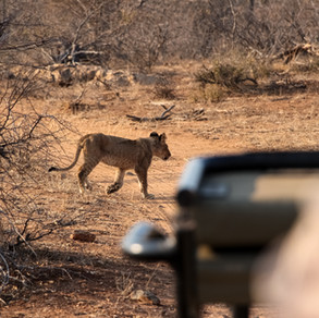 Lion Cub Jeep.jpg