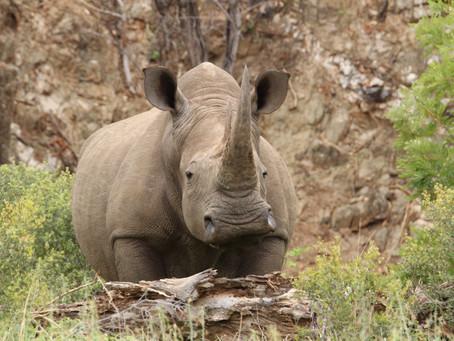 De neushoorn: een icoon in de Afrikaanse bush