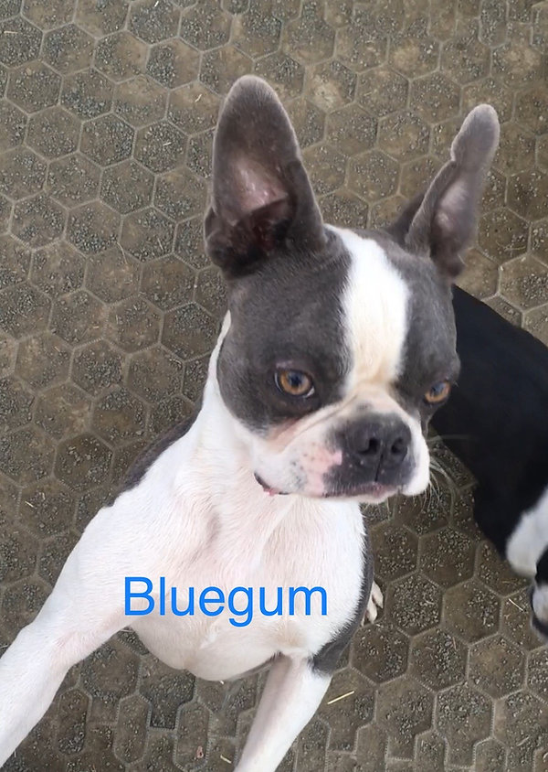 bluegum4.jpeg