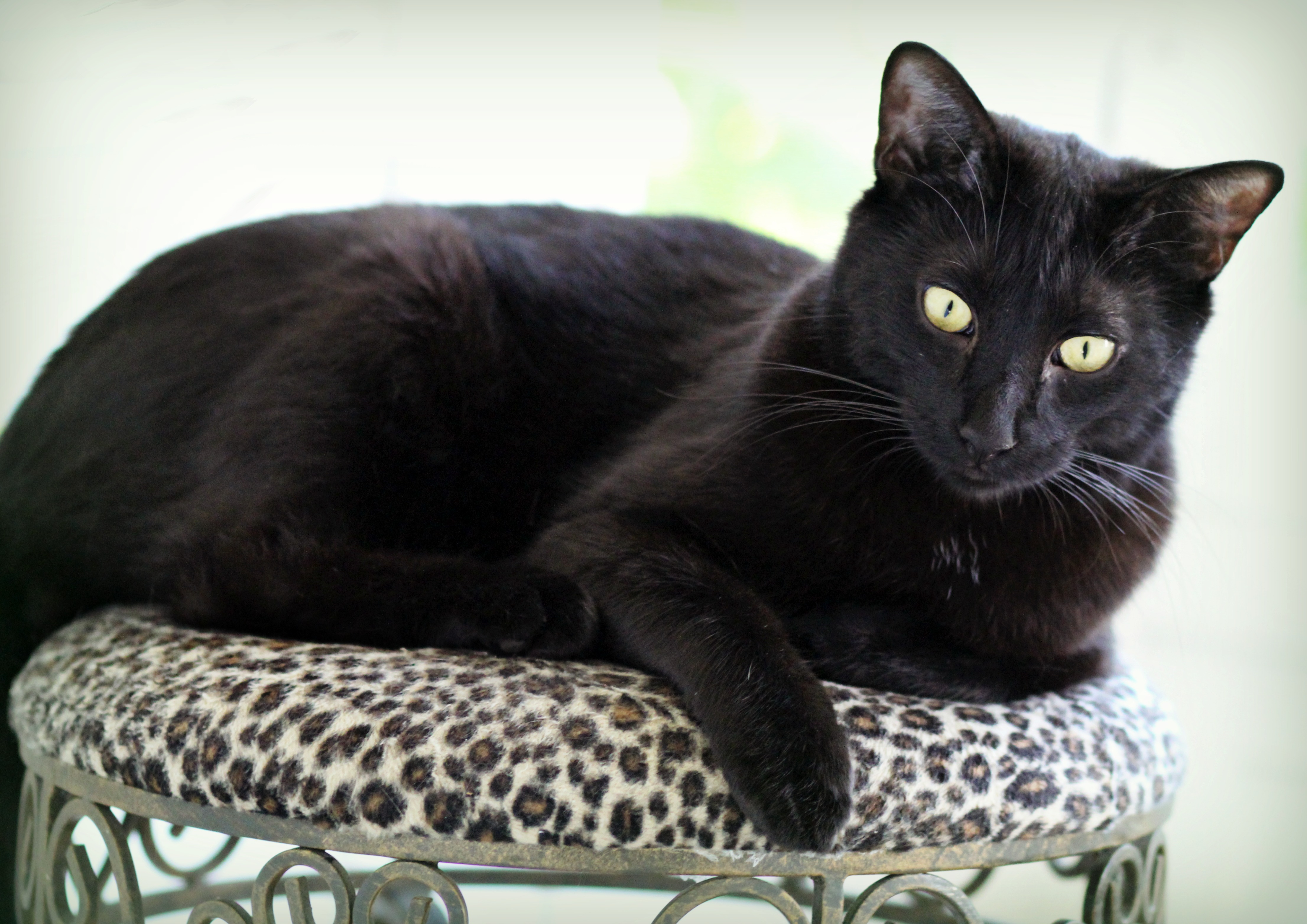 Fonzythe Black Gorgeous Cat