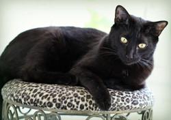 Fonzythe Black Gorgeous Cat