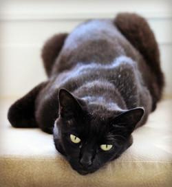Cert the Gorgeous Black Cat