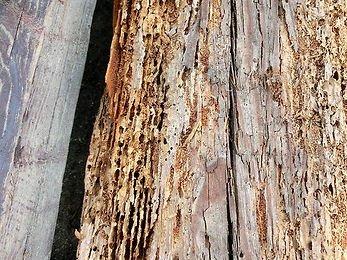 シロアリ被害の木