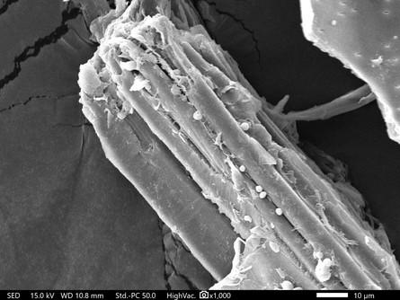 ミクロフィブリルの顕微鏡画像4