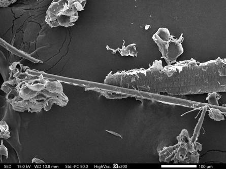 ミクロフィブリルの顕微鏡画像2