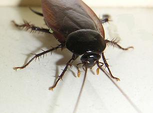 クロゴキブリ