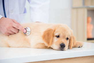 診察中の犬