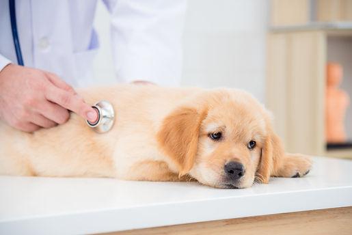 犬と聴診器