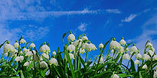 Snowdrops in spring.jpg