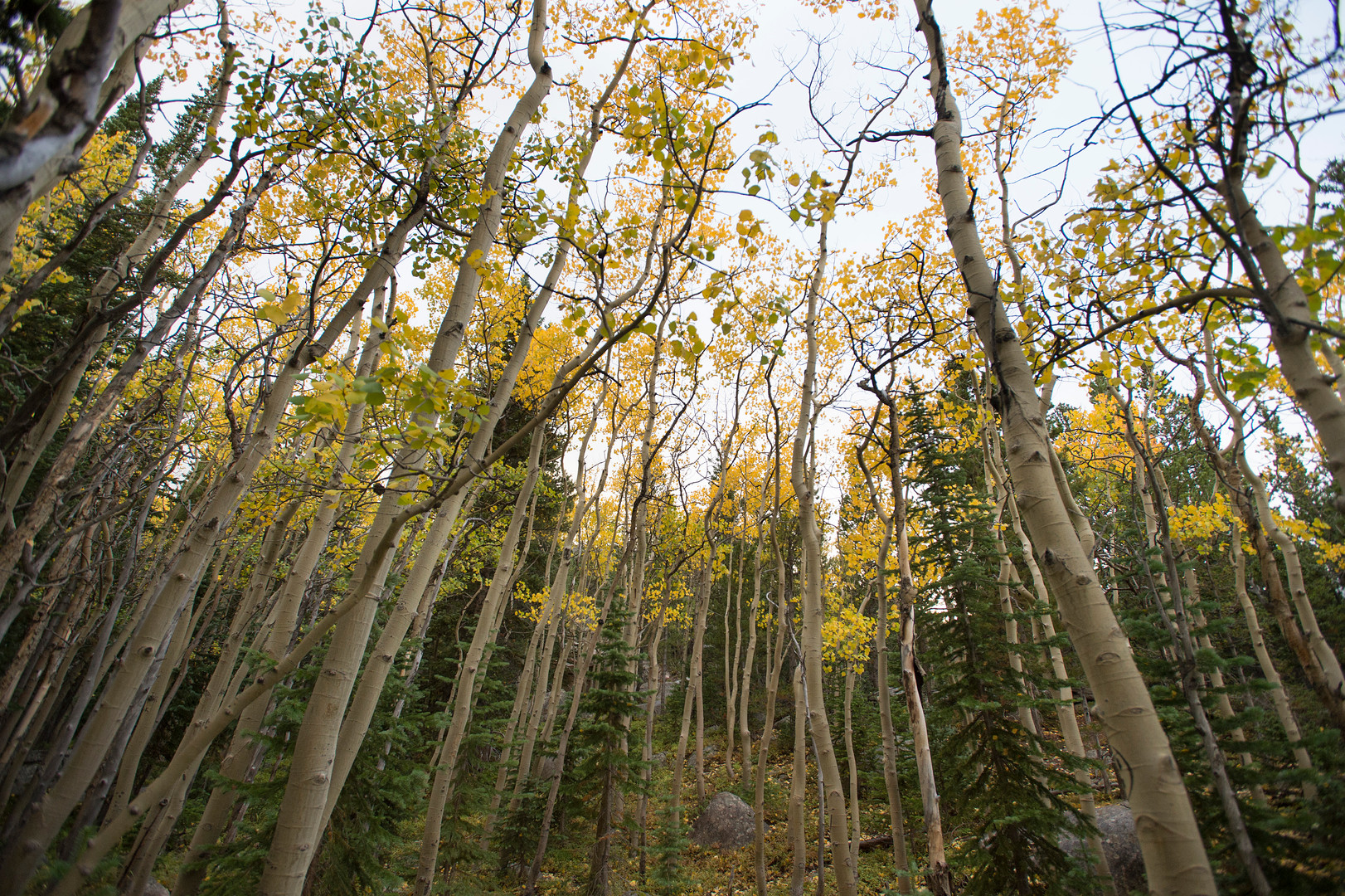 Aspen trees begin to show their first signs of fall color near the Glacier Gorge trailhead Wednesday, September 16, 2015.