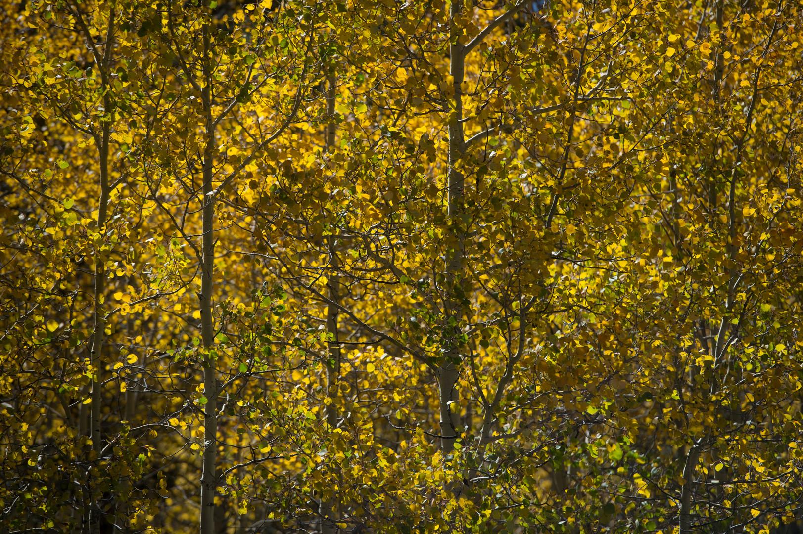Aspen trees show off their fall colors near Kenosha Pass on Thursday, September 21, 2017.