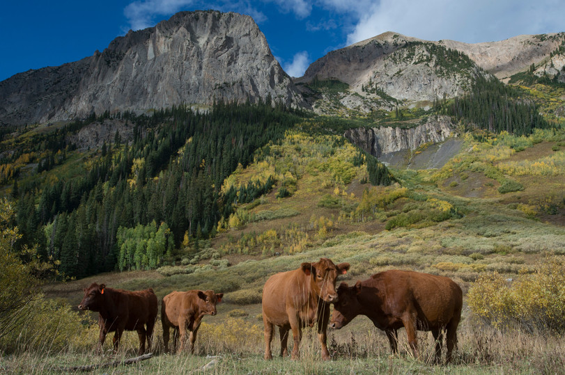 Cows wander a field in view of aspen trees showing their fall colors on Gothic Road near Crested Butte, Colorado on Friday, September 22, 2017.