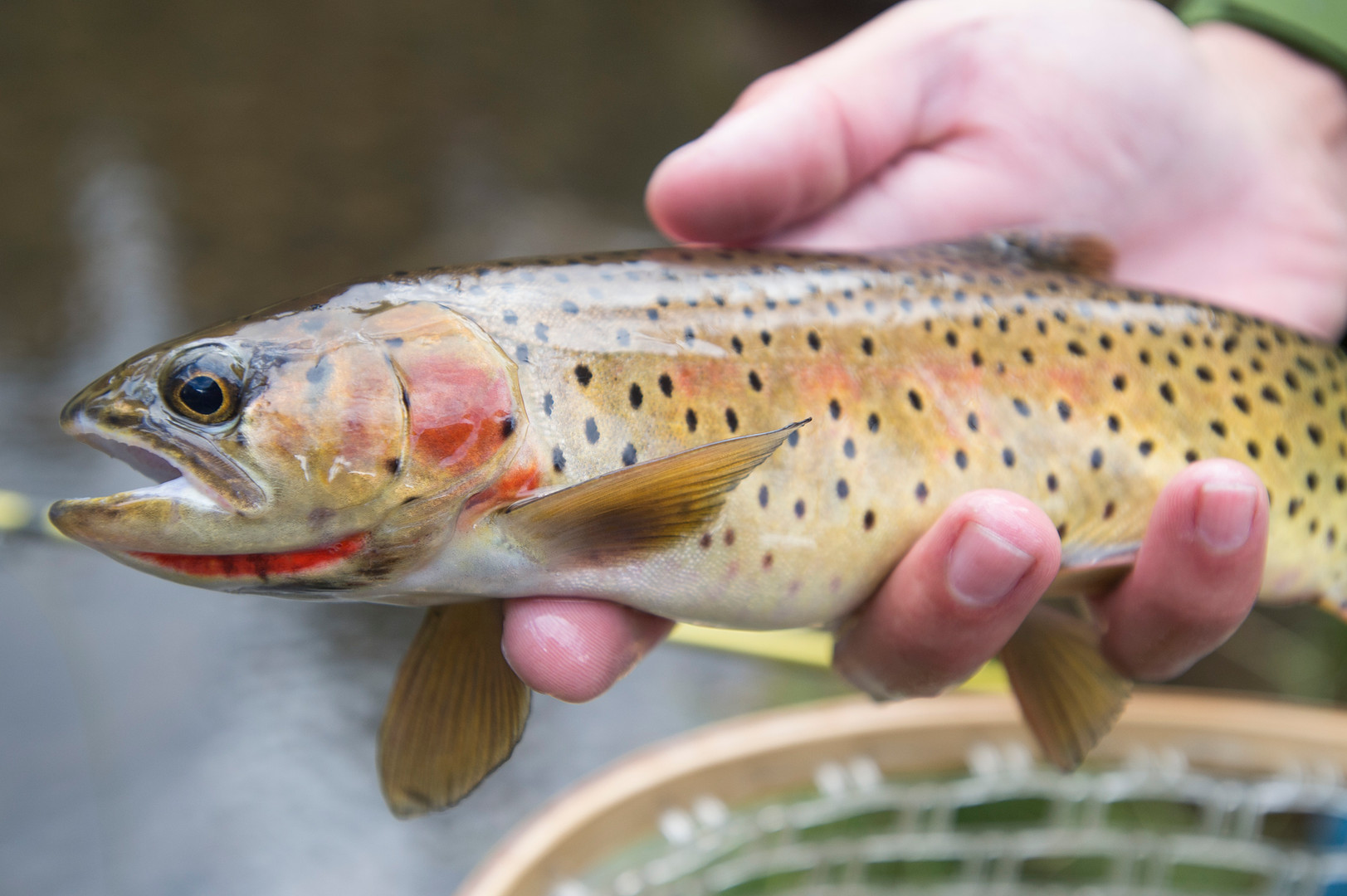 A cutthroat trout from The Loch is removed from a net to be returned to the water.