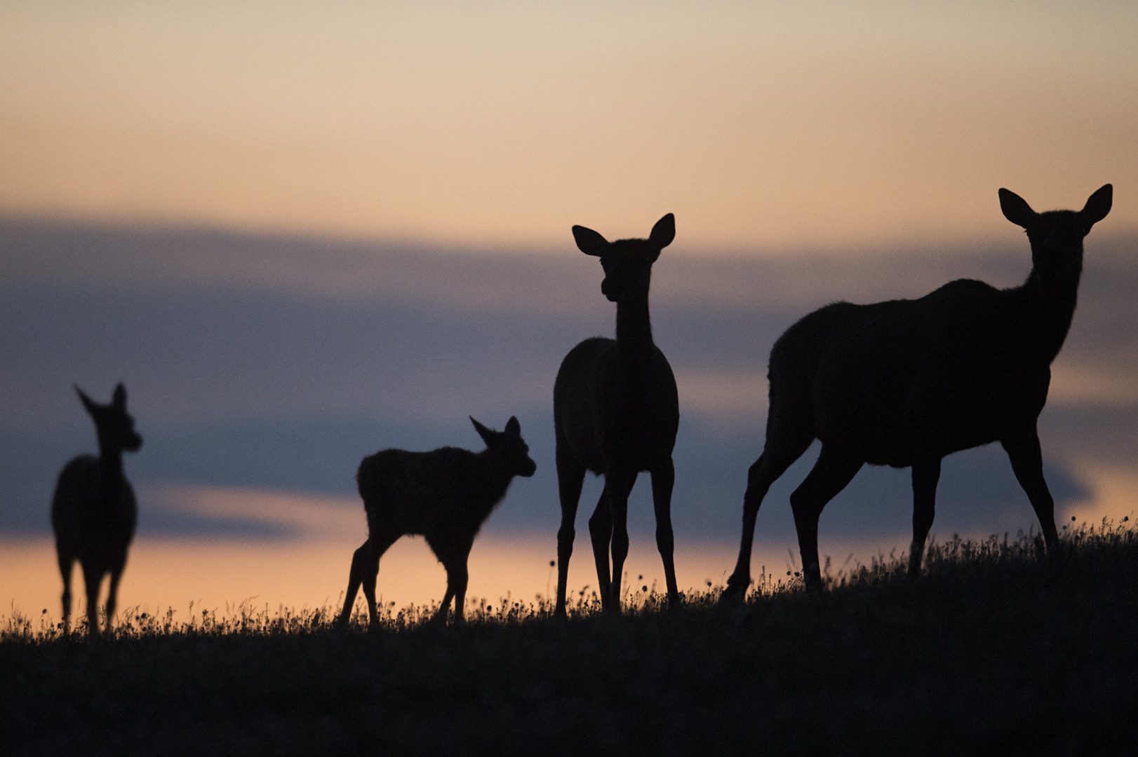 A herd of elk graze on top of Trail Ridge Road in Rocky Mountain National Park at dusk Tuesday, July 26, 2016.