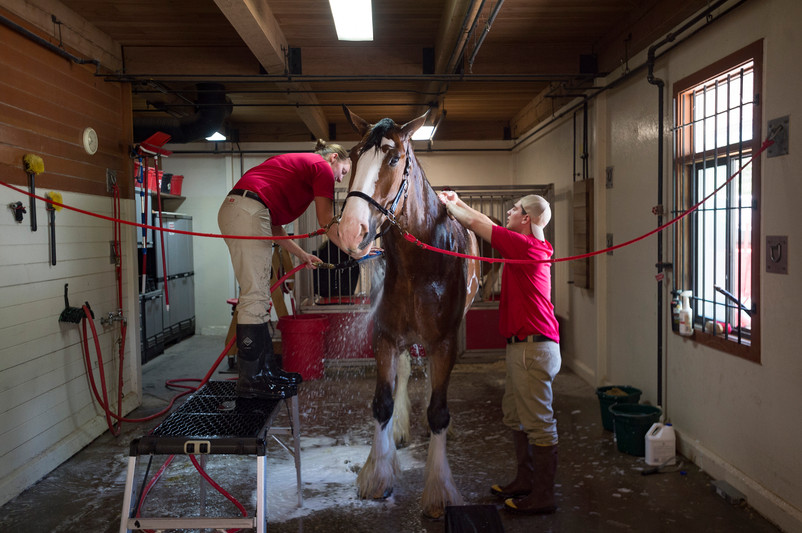 Shelby Zarobinski and Andrew Lacrosse give Red, a 2,200-pound Clydesdale, a bath at the Fort Collins Anheuser-Busch Brewery on Thursday, May 31, 2018. The iconic Budweiser Clydesdales are visiting the brewery's Fort Collins location this week. AUSTIN HUMPHREYS/THE COLORADOAN