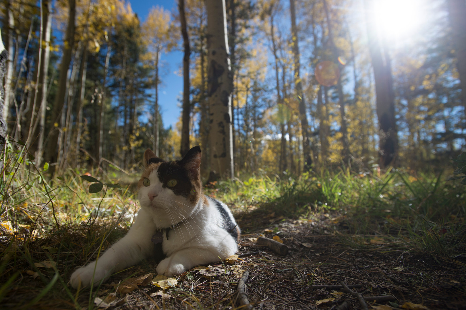 SinTacha the cat rests under a canopy of fall colors near Kenosha Pass on Thursday, September 21, 2017. SinTacha's owners brought the feline into the aspen grove for a photo shoot.