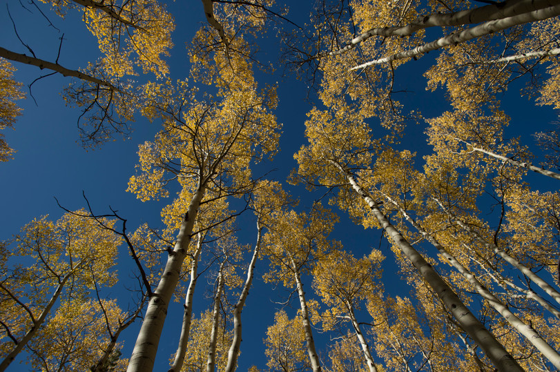 Aspen trees stand tall showing their fall colors near Kenosha Pass on Thursday, September 21, 2017. The area, about two and a half hours from Fort Collins, is known to have one of the largest groves of aspen trees in the state.
