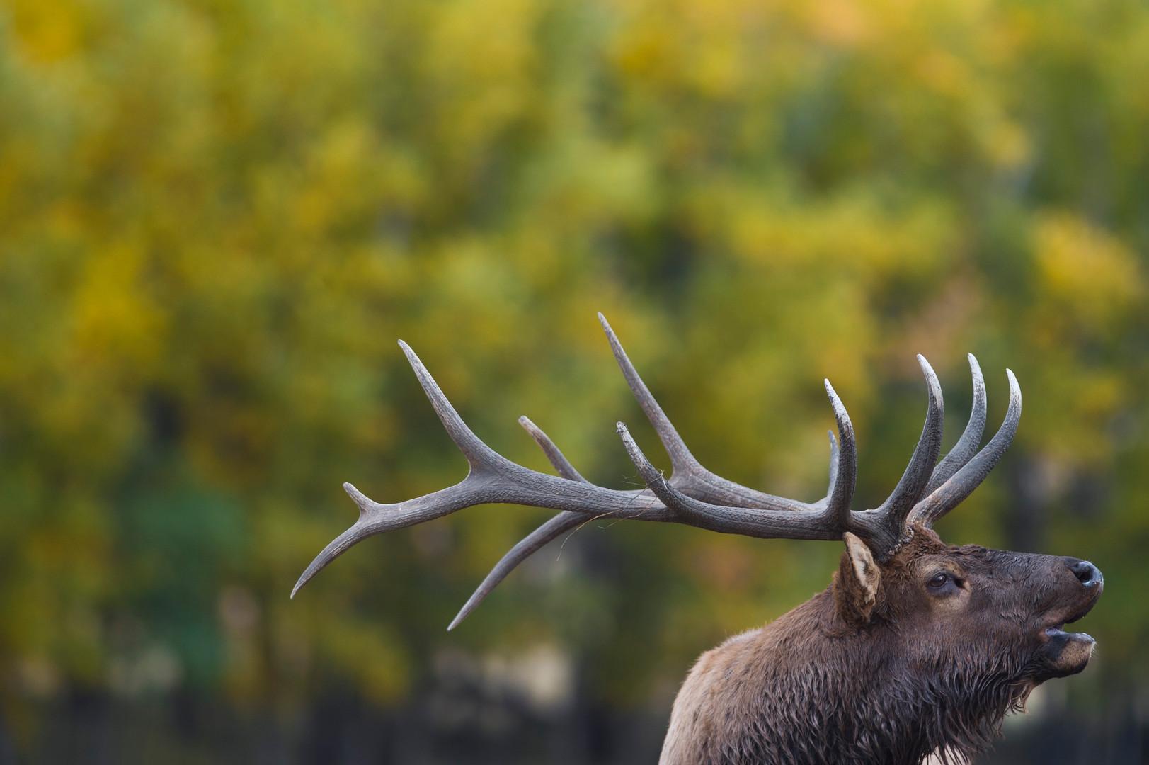 A bull elk bugles in Moraine Park in Rocky Mountain National Park Monday, September 28, 2015.
