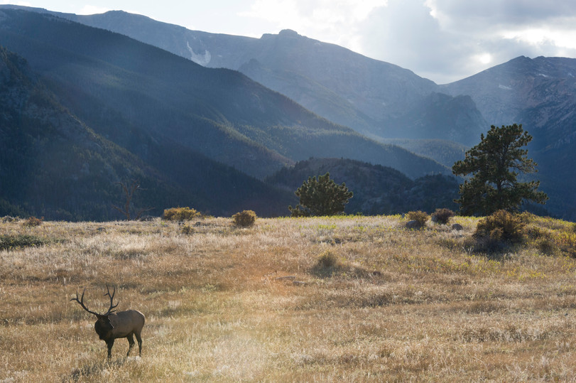 A bull elk wanders Moraine Park near the Big Thompson River in Rocky Mountain National Park Wednesday, September 16, 2015. The bull elk in Moraine Park compete for the ability to mate with females during September and October.