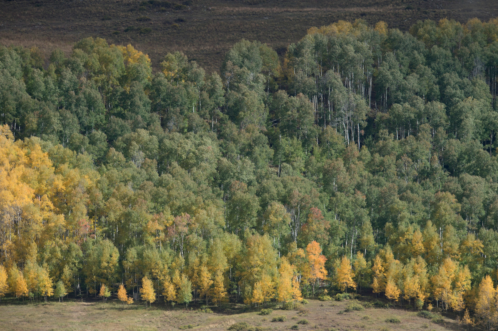 Aspen trees begin to shift into their fall coloration near Crested Butte, Colorado on Friday, September 22, 2017.