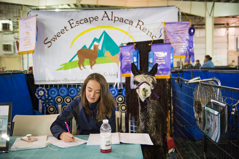 Mystic the alpaca sits patiently while Sydney May works on some school work during the Fall Festival Alpaca Show at The Ranch in Loveland on Saturday, November 2, 2018. Alpaca breeders and handlers gathered to swap tips of the trade and show their animals. AUSTIN HUMPHREYS/THE COLORADOAN