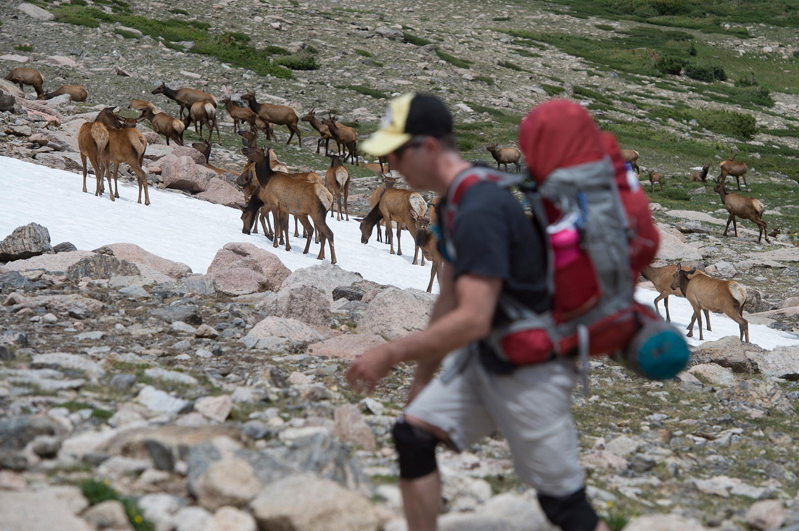 A herd of elk travels along the side of the trail as a hiker makes his way up Longs Peak in Rocky Mountain National Park on Friday, July 19, 2017.
