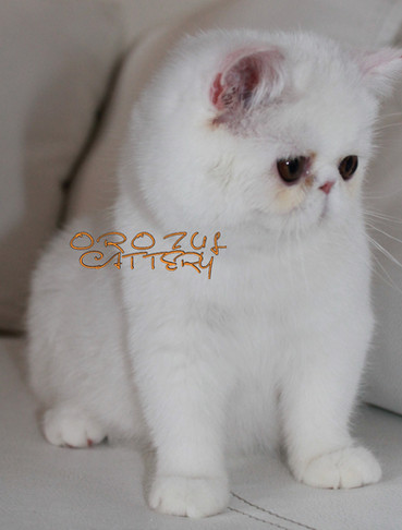 Orozul Snow white of Lynx.jpg