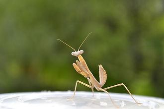 Venta de Mantis religiosa