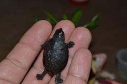 Cría de tortuga