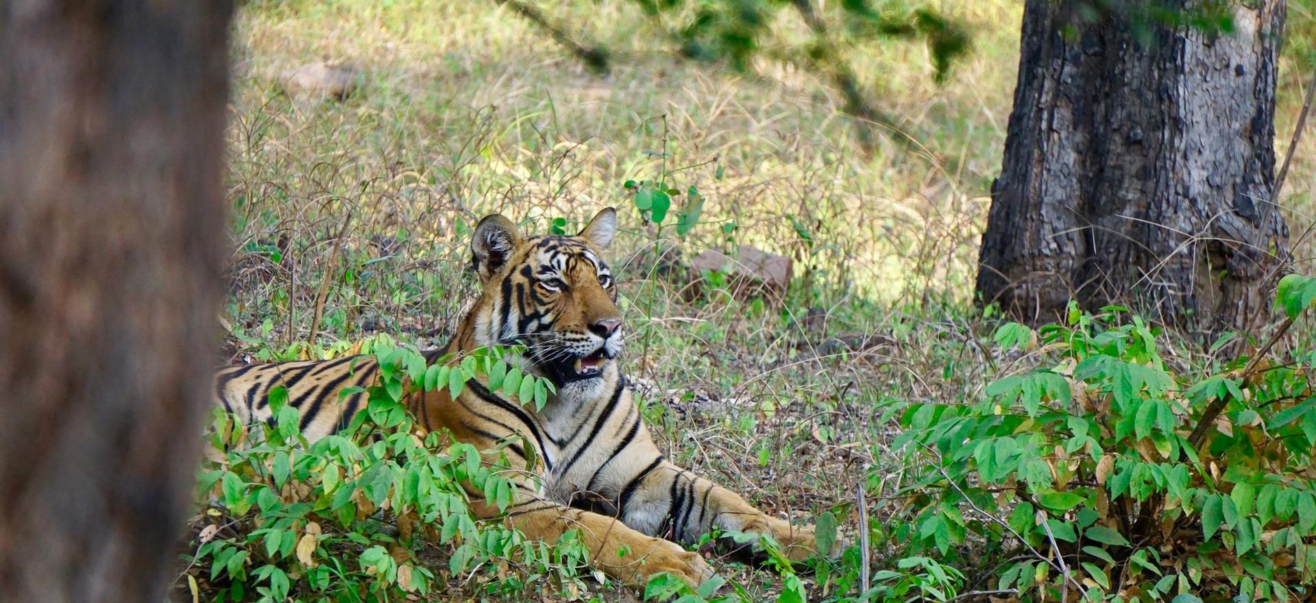 TigerCub_liegend.jpg