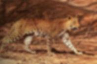 Leopardin.jpg