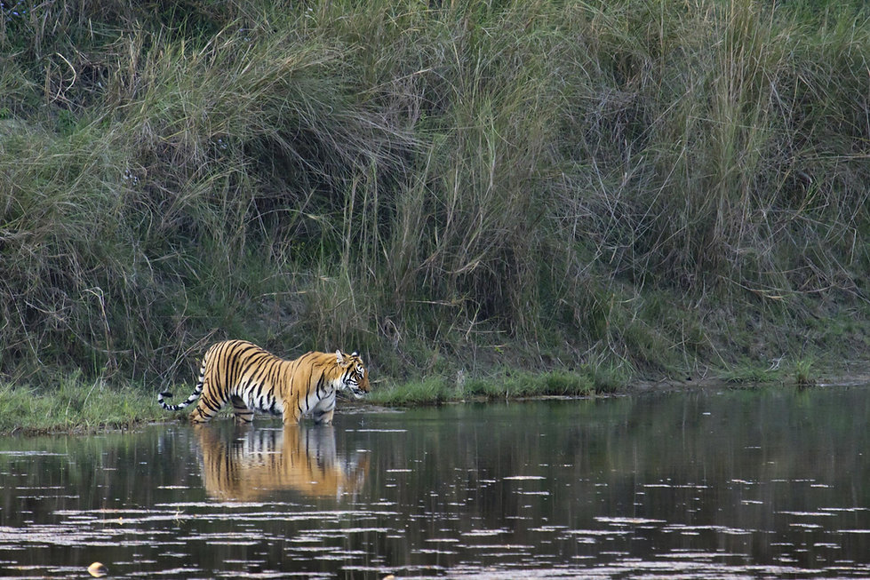 Tiger in Bardia National Park