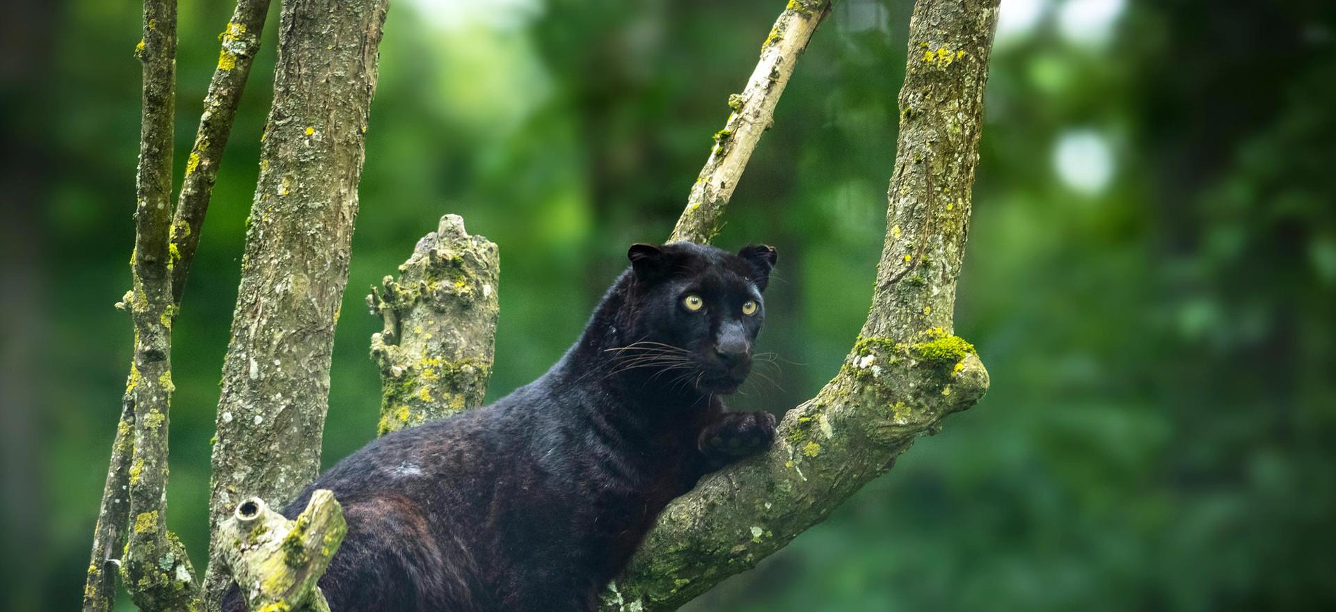 Black_Leopard.jpg
