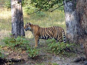 TigerCub_Fullview.jpg
