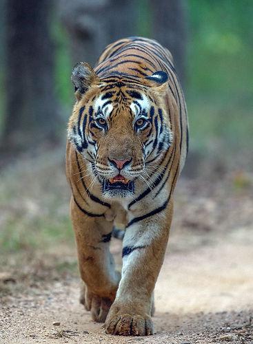 Tatze eines bengalischen Tigers