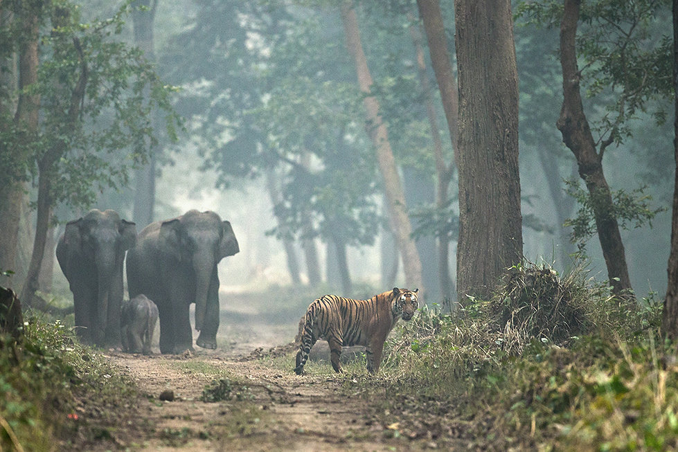 Elefants and Tiger in Dudhwa National Park