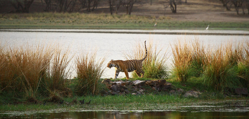 Tiger on Ranthambhore Lake