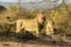 Asiatic Lions in Gir National Park