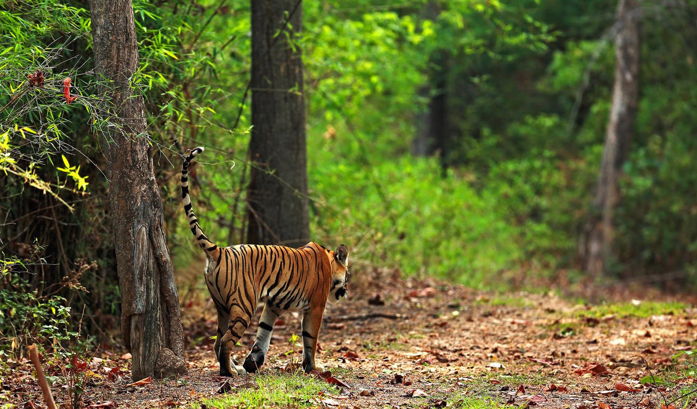 TigerHinten_Jungle.jpg