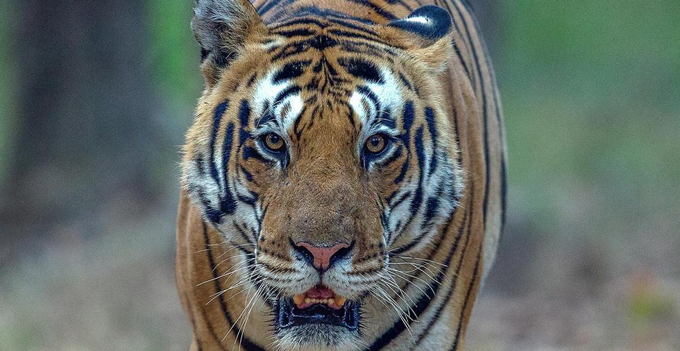 Tiger_Front.jpg