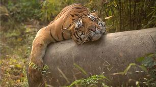 Tiger lying on pole