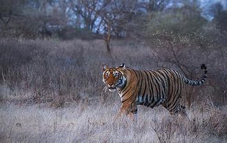 Tiger_Ranthambhore.jpg