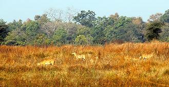 Antilopen_Tadoba.jpg
