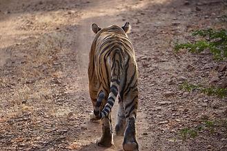 Tigerin_vonhinten.jpg