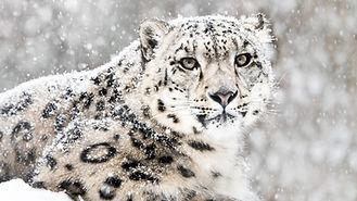 Schneeleopard_2.jpg